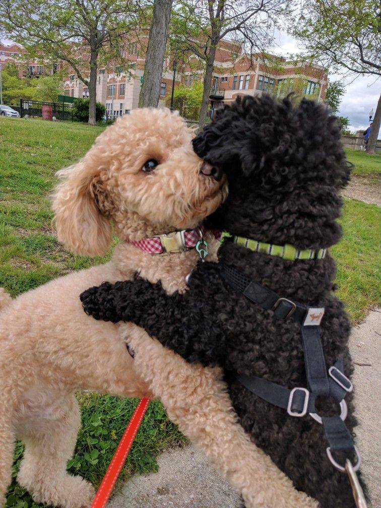 Pin by Marlys McKinzie on Dogs in 2020 Minature poodle