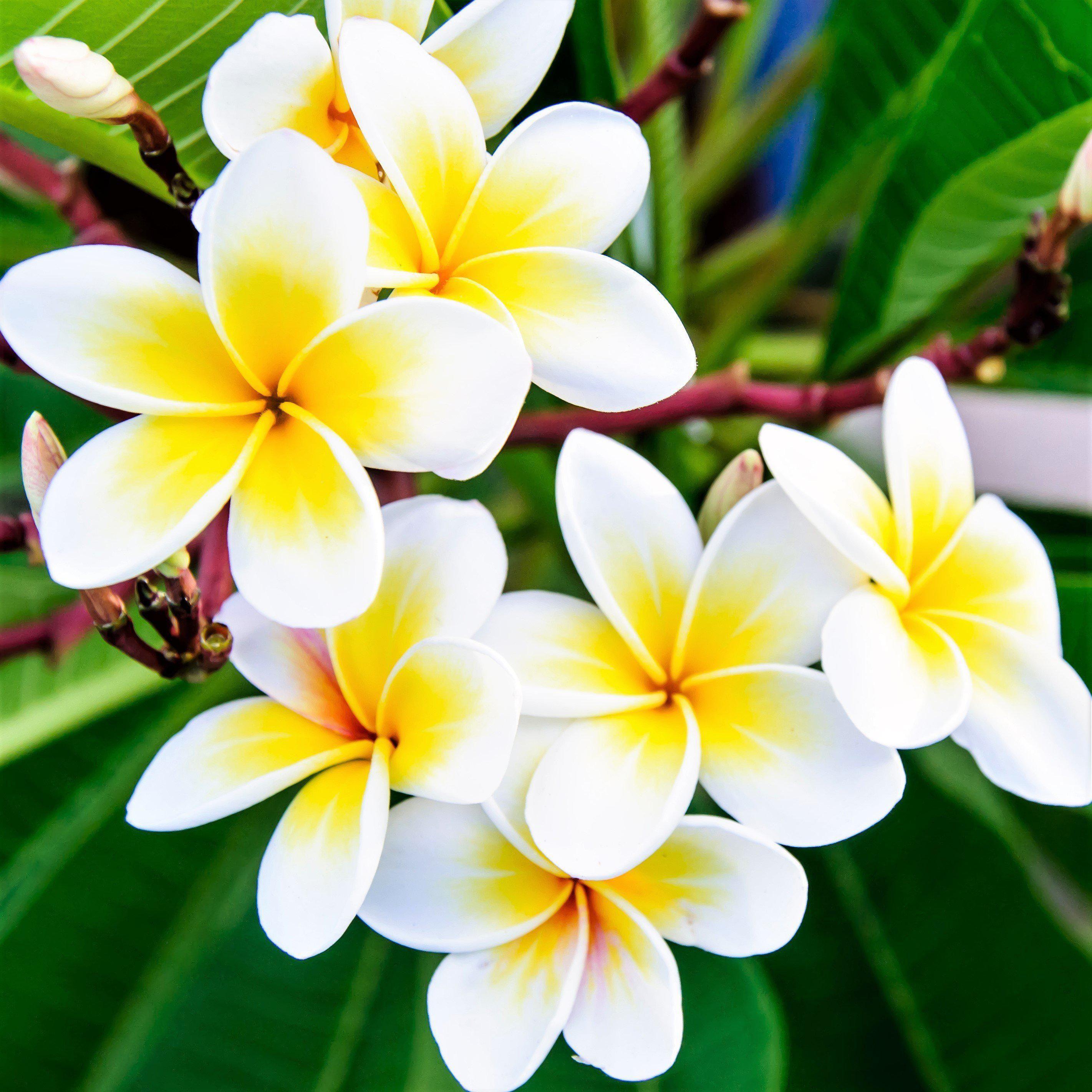 Allium Ampeloprasum In 2020 Flower Pots Fragrant Plant Plumeria Flowers