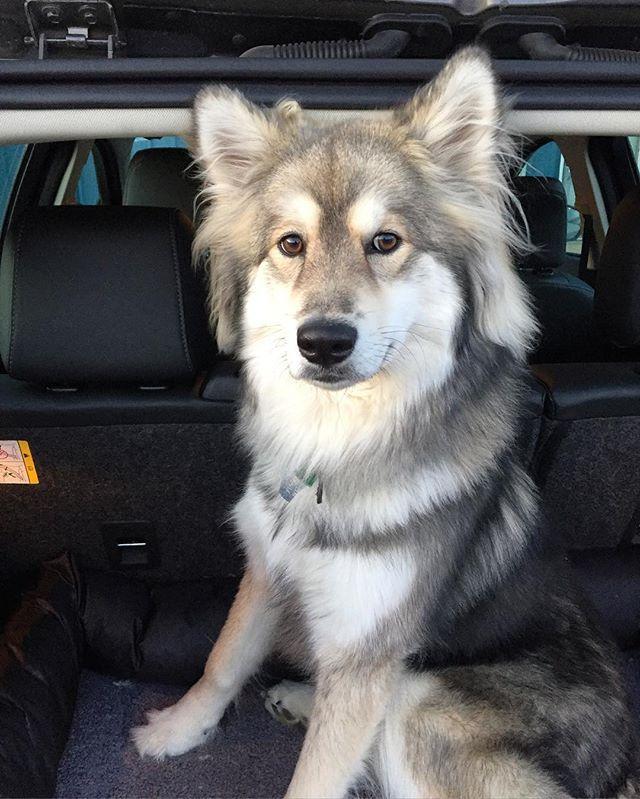25 Adorable Dog Hybrids You Had No Idea Existed Alaskan Malamute