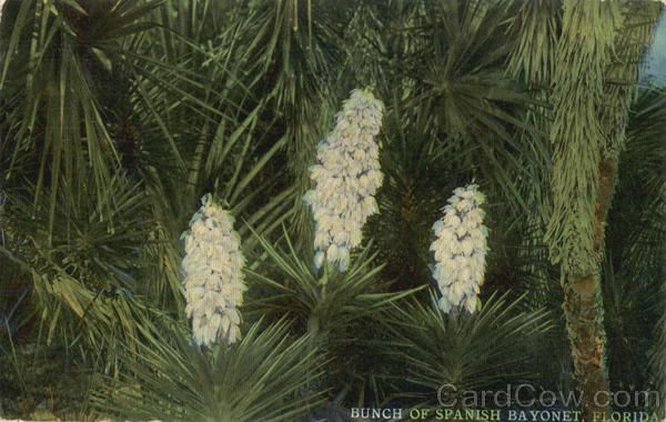 Bunch of Spanish Bayonet Flowers