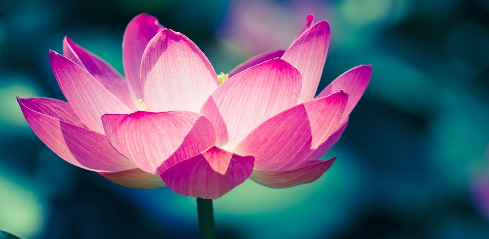 The secret meaning of the lotus flower lotus flower the secret meaning of the lotus flower townandcountrymag izmirmasajfo