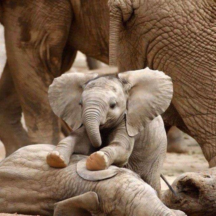 Baby Elephants As Pets