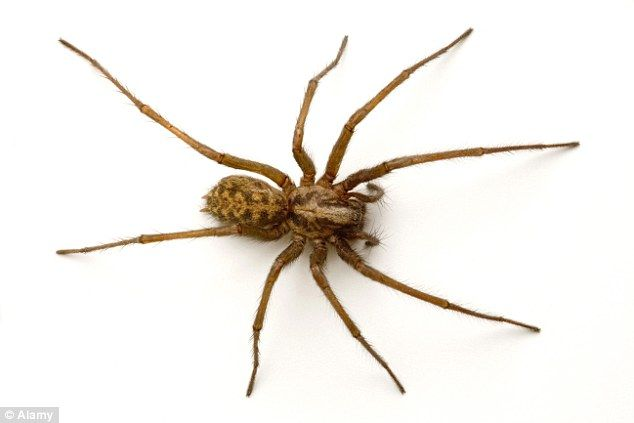 Parents Warned Of Poison Spiders After Girl 4 Was Bitten House Spider Giant House Spider Spider