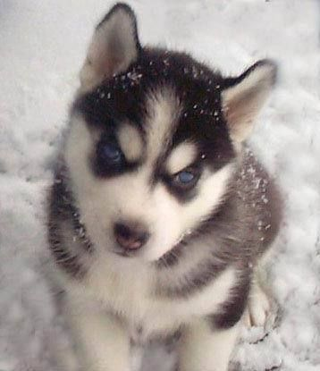 Image Result For Les Bebe Chien Loup Baby Huskies Husky Dogs