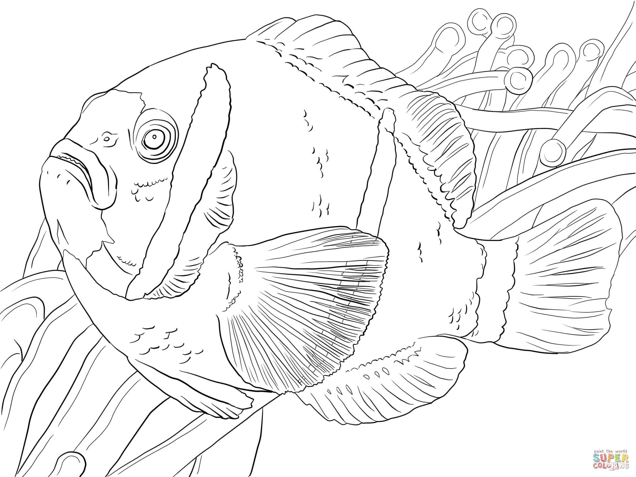 anemone fish | Fish | Pinterest