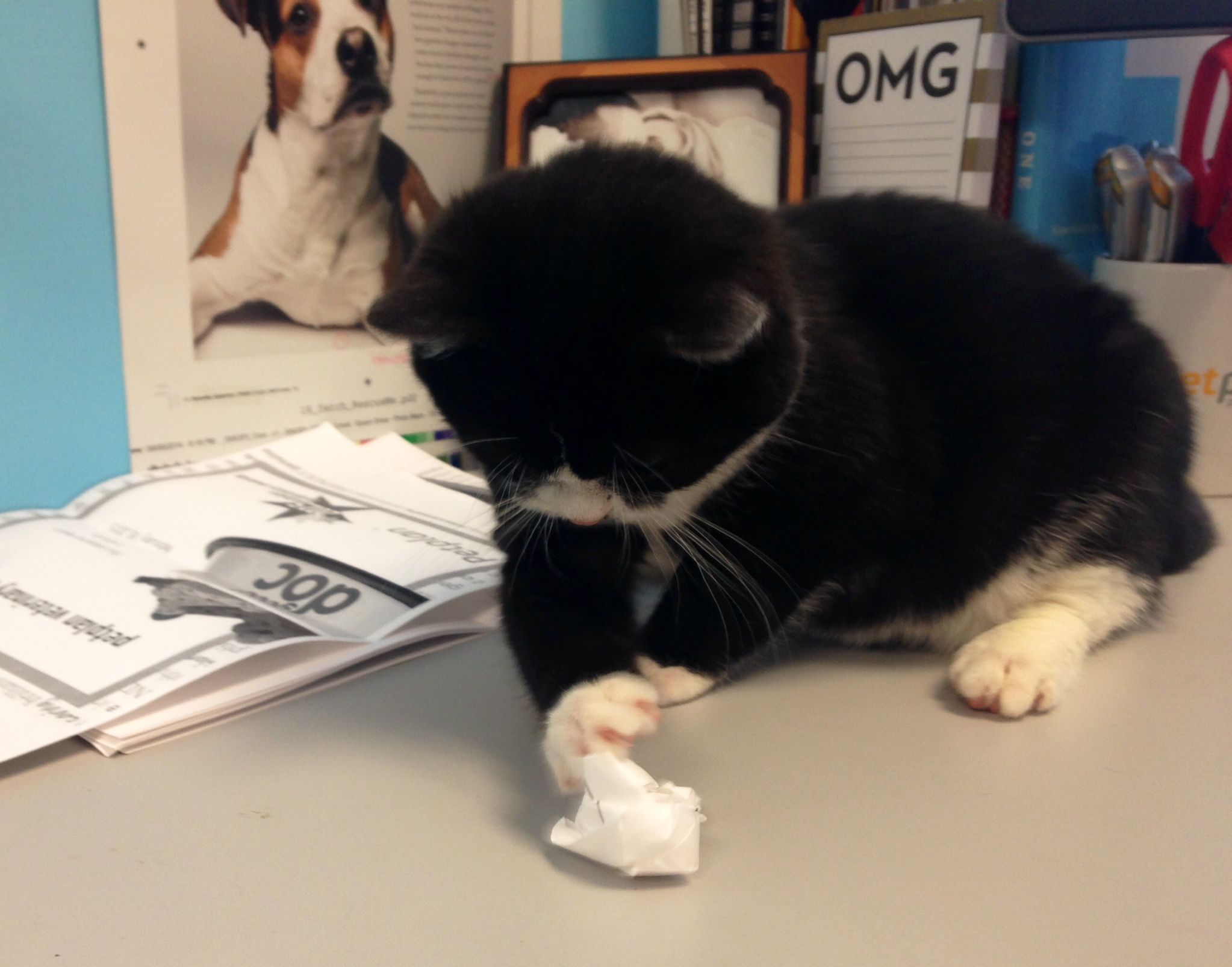 Smushy Isn T Interested In Taking Notes Unless They Re Crumpled Up Takeyourcattoworkday Cats Prey Pets