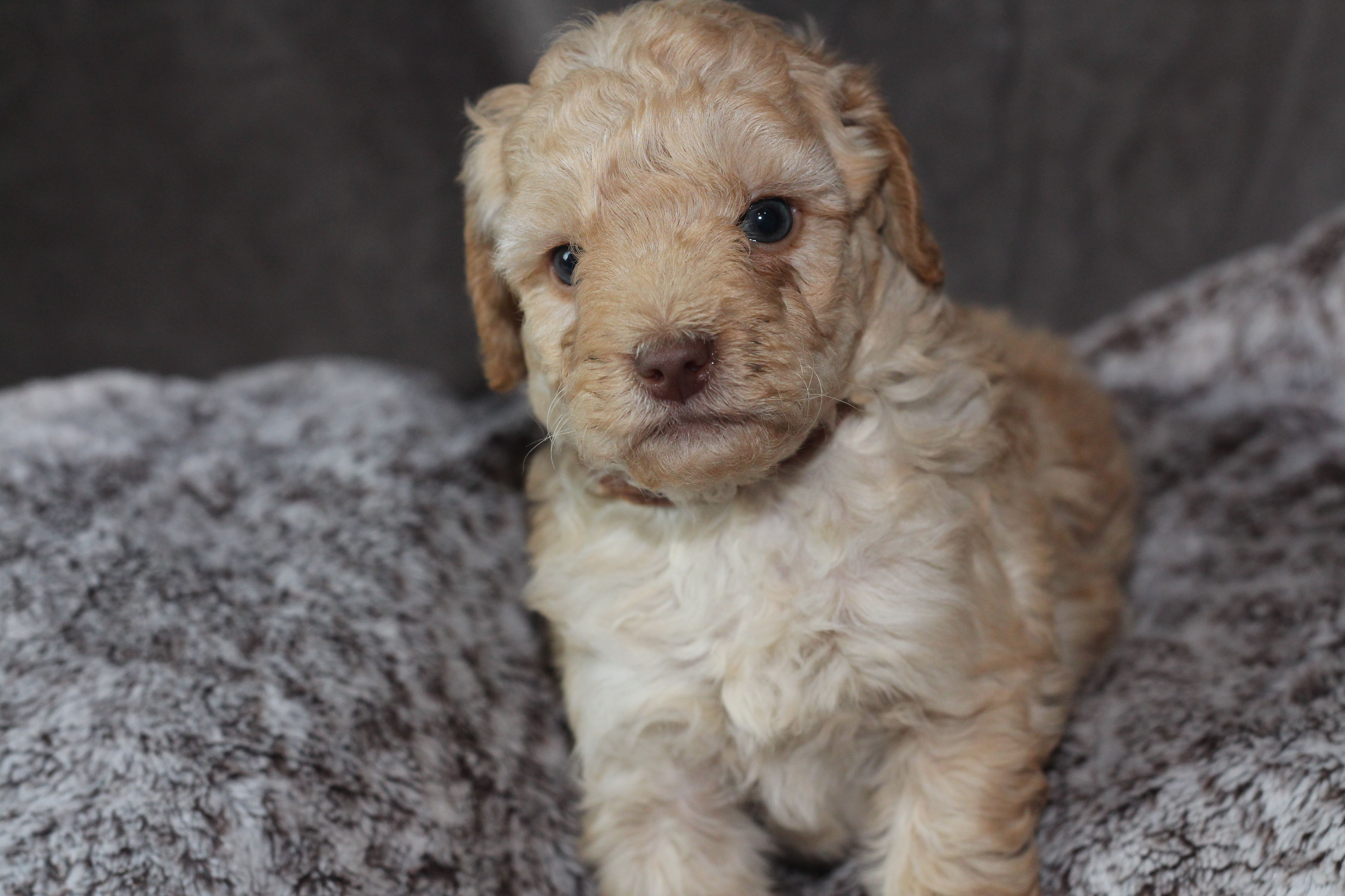 Mini Goldendoodle Puppy Around 45 Weeks Old From River