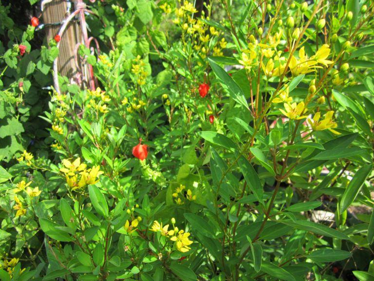 Golden Showers Thryallis Deer Resistant Plants Deer Resistant Landscaping Plants