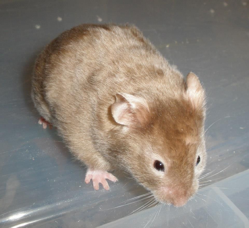 Wyeside Hamsters Satin Chocolate Sable SH Cute