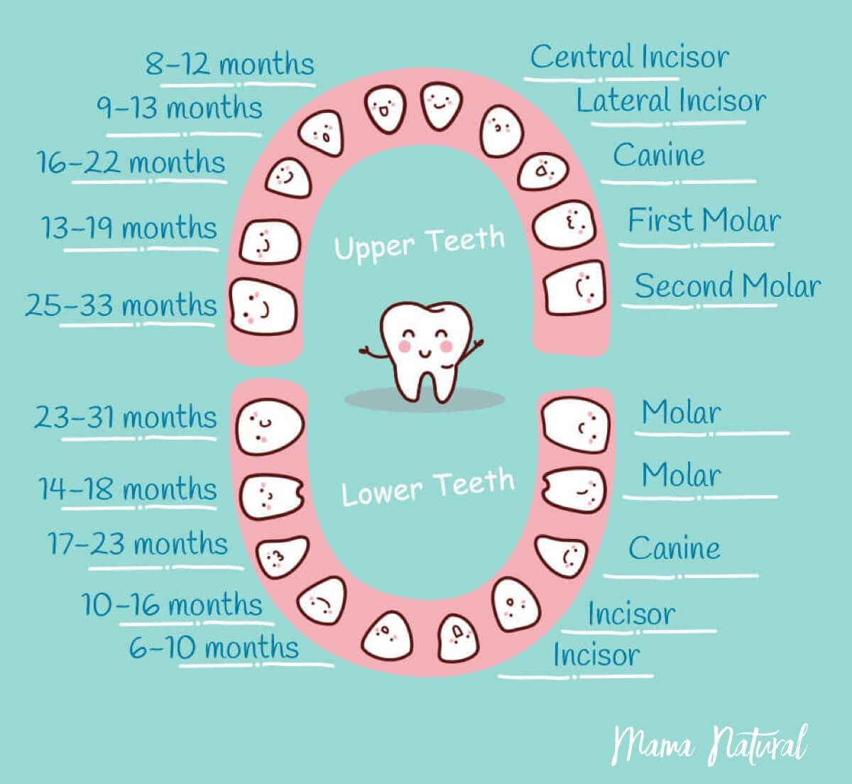 baby teething chart  what order do they come in