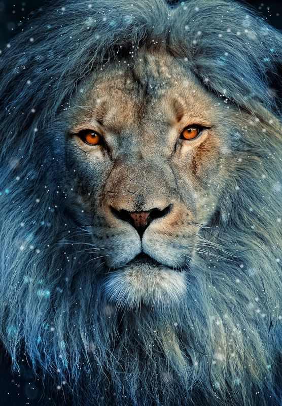 Lion In Winter | l'hiver