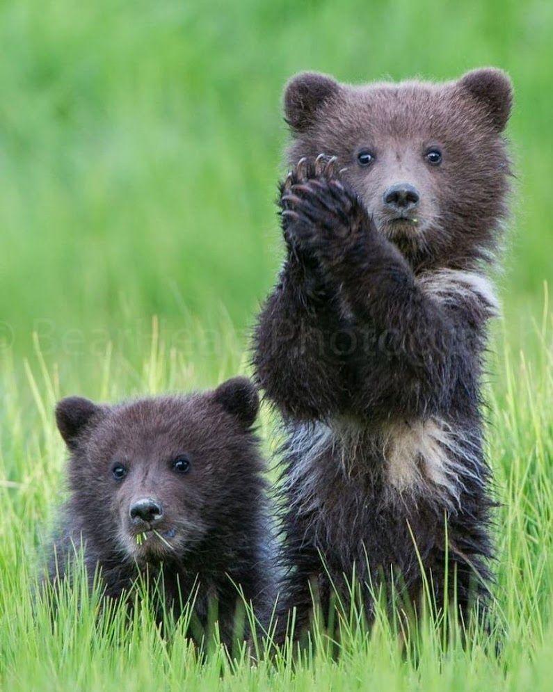 Медвежата картинки фото
