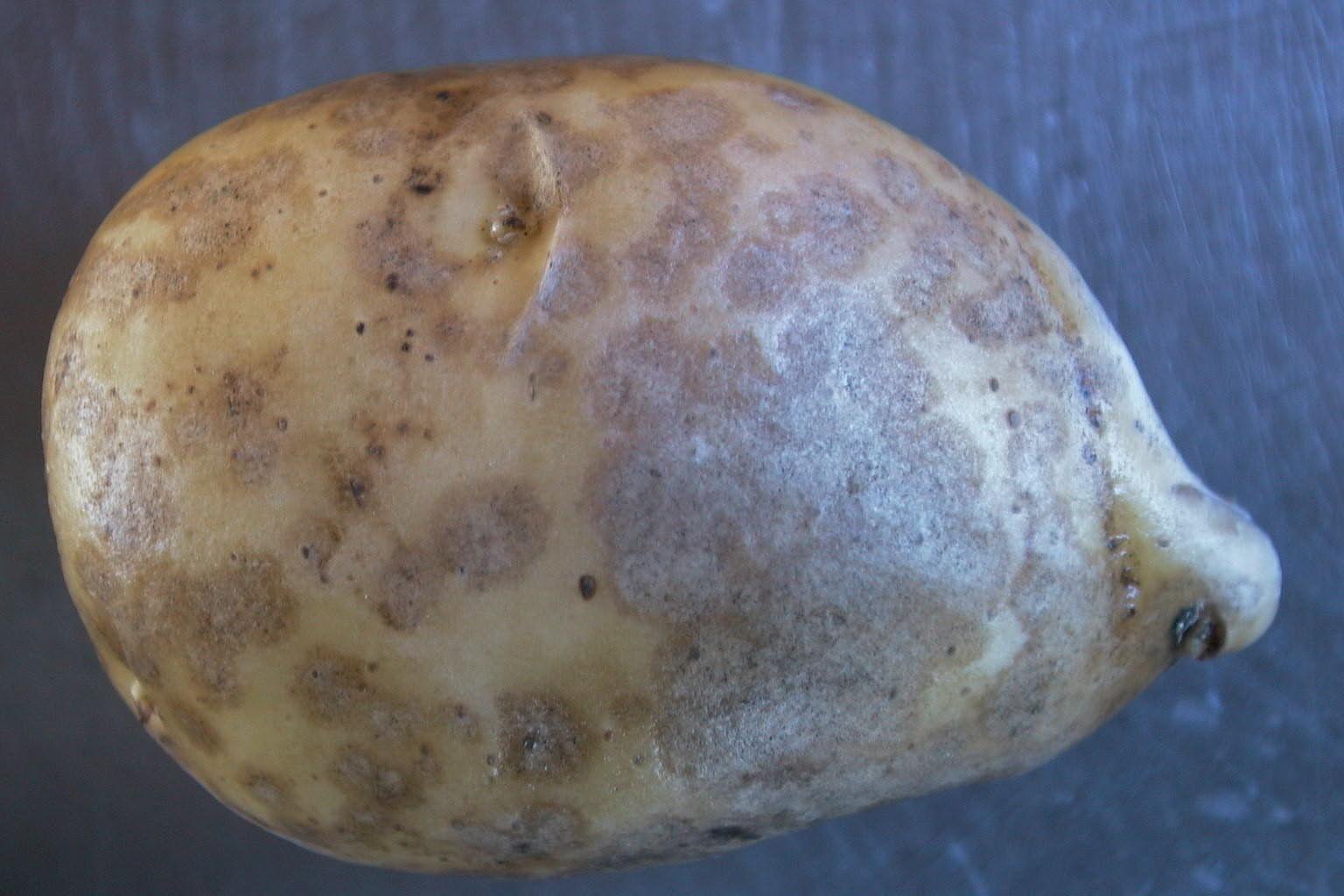 helminthosporium solani)