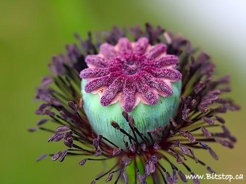 Elinka Velvety Oriental Poppy Seed Pod By Karen Chappell Poppy Seed Pods Poppies Seed Pods