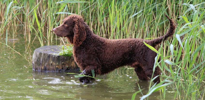 The American Water Spaniel Is A Rare Dog Breed Developed In The Upper Midwest During The 1800 S And Is Recognized As Truly Ameri American Water Spaniel