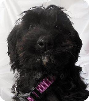 Thousand Oaks Ca Scottie Scottish Terrier Poodle Miniature