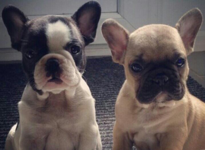 Mini Bulldog 1 2 Olde English 1 2 English Mini Bulldog