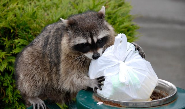 3 Tips For Getting Rid Of Raccoons Animaux Sauvages Raton