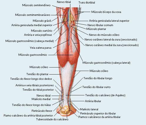 Resultado de imagem para músculos dos membros inferiores | Ossos ...