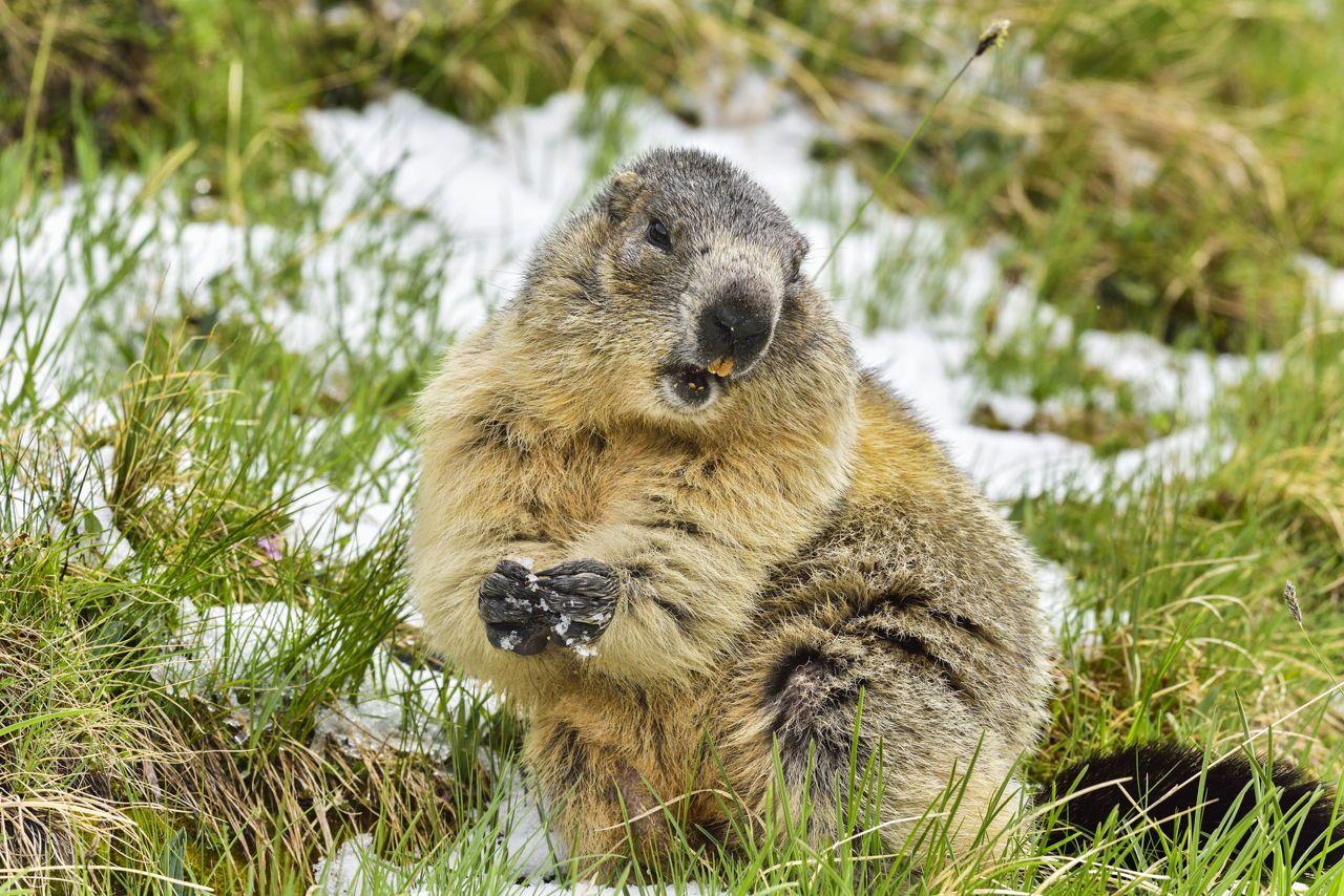 Alpine Marmot Animals, List of animals, Tundra