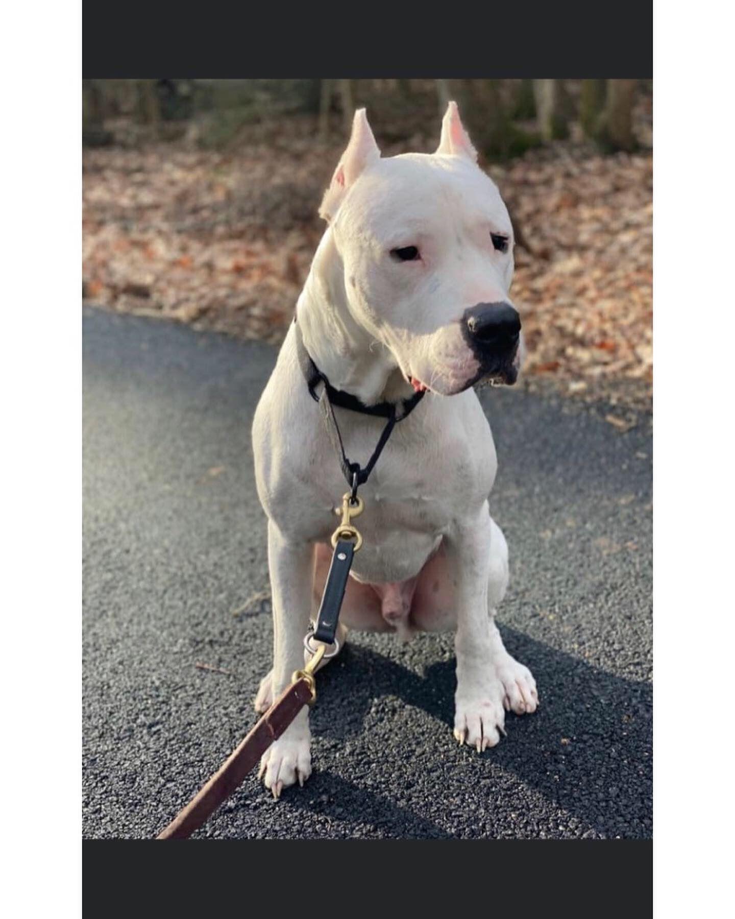 Pin On Dogo Argentine Mastiff
