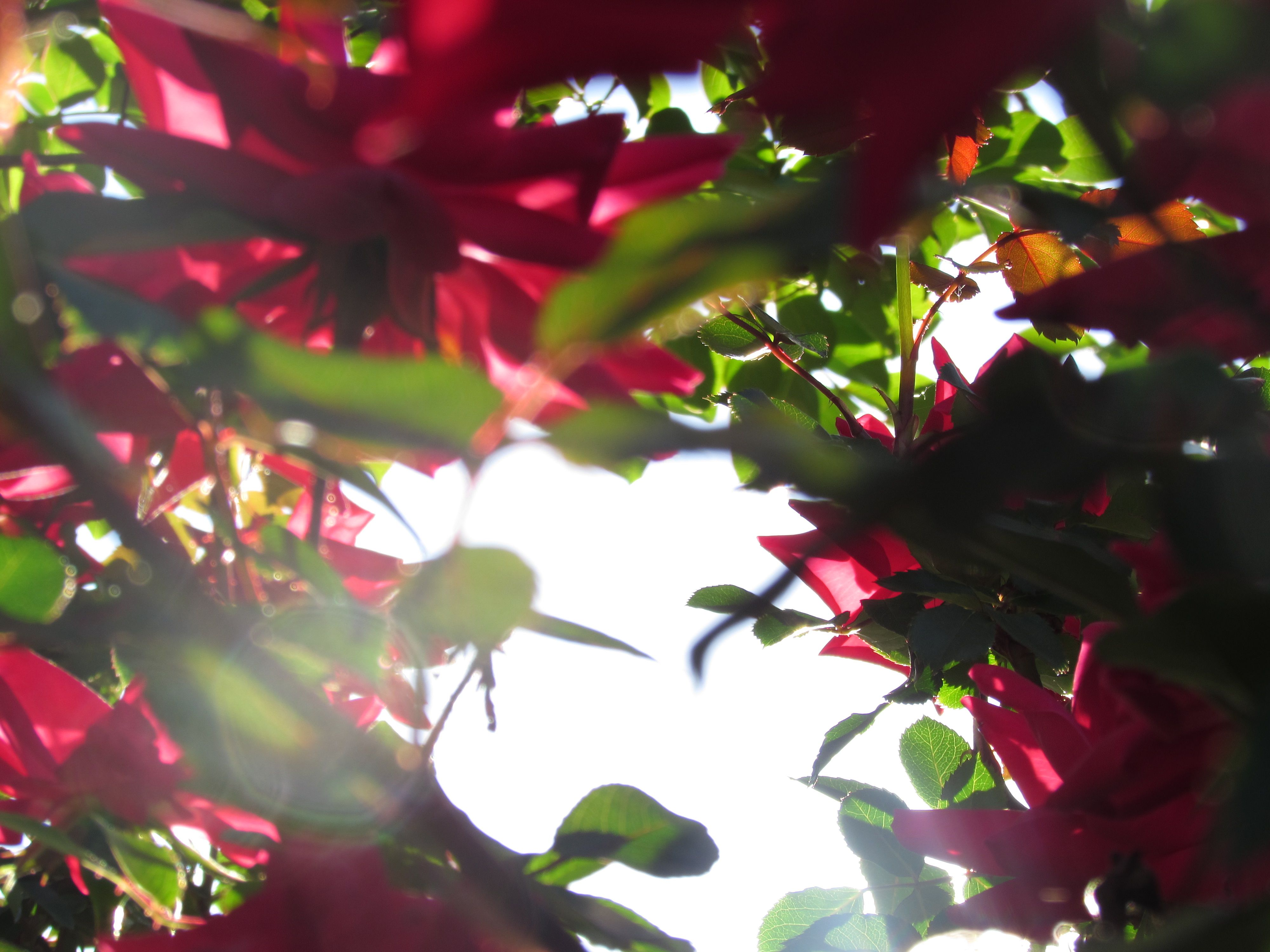 picture of sunlight through a rose bush Rose bush