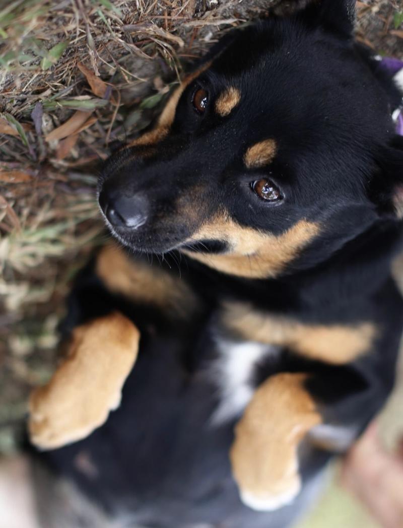 Adopt matilda on petfinder lancashire heeler dogs