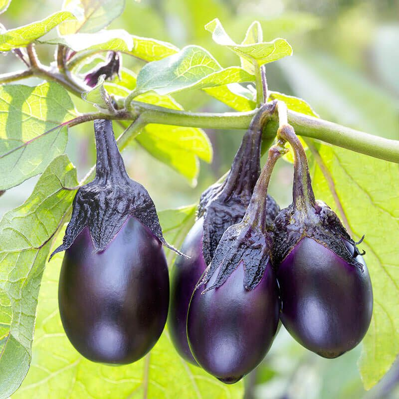 7 Mini Vegetable Ideas For Small Gardens Baby Eggplant Eggplant Growing Eggplant