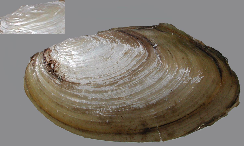 Pseudanodonta complanata Depressed river mussel.  Suffolk BAP Plan  http://www.suffolkbiodiversity.org/content/suffolkbiodiversity.org/PDFs/action-plans/depressedmussel.pdf