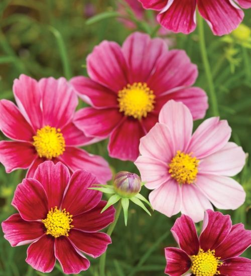 Cosmos Bipinnatus Antiquity Border Position Middle Soil Type Chalky Neutral Site Full Sun Moisture Well Dr Flower Seeds Cosmos Flowers Beautiful Flowers