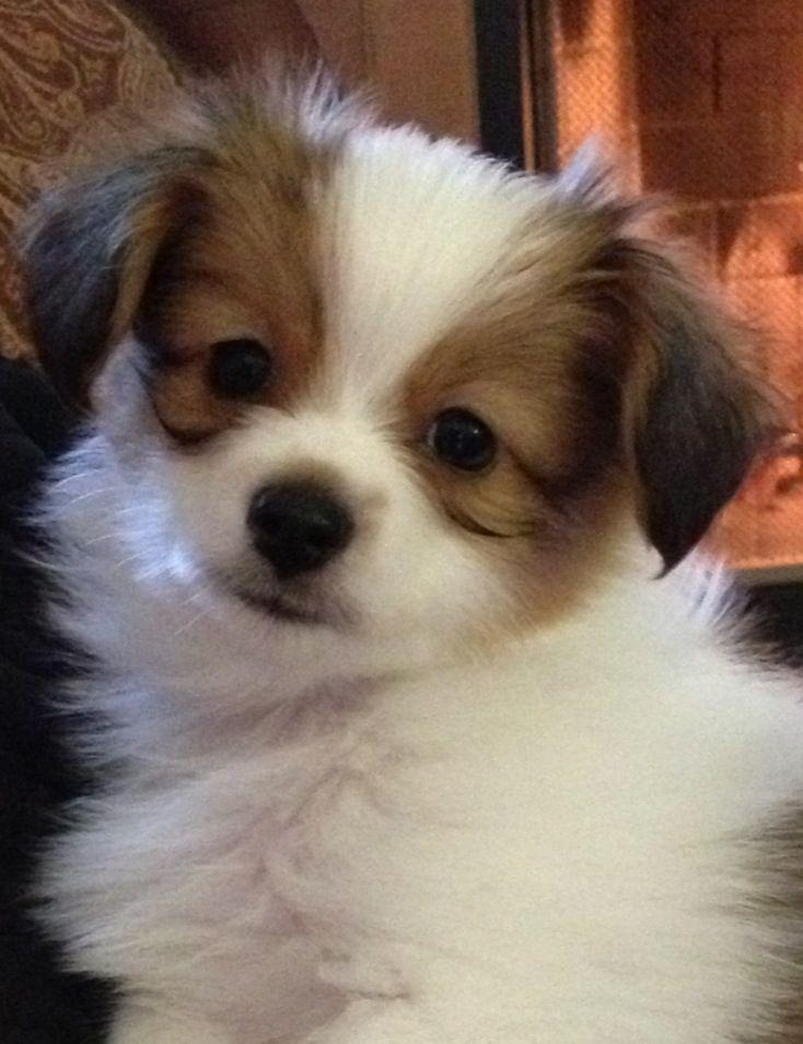 Phal ne phalene papillon continental toy spaniel epagneul nain continental dogs puppy - Petshop papillon ...