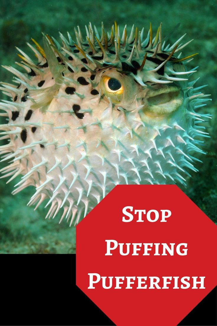 Stop Puffing Pufferfish