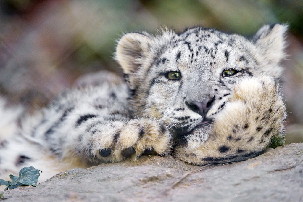 Hundreds of snow leopards are being killed every year, and that's unacceptable