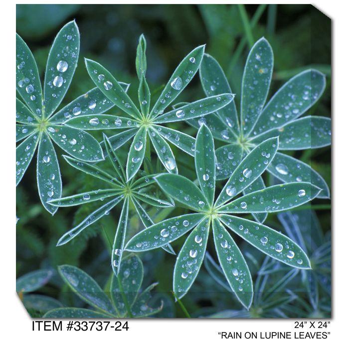 Rain on Lupine Leaves Canvas Wall Art