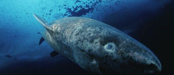 Pin by Squatch on (OC) Cahaya   Greenland shark, Shark ...