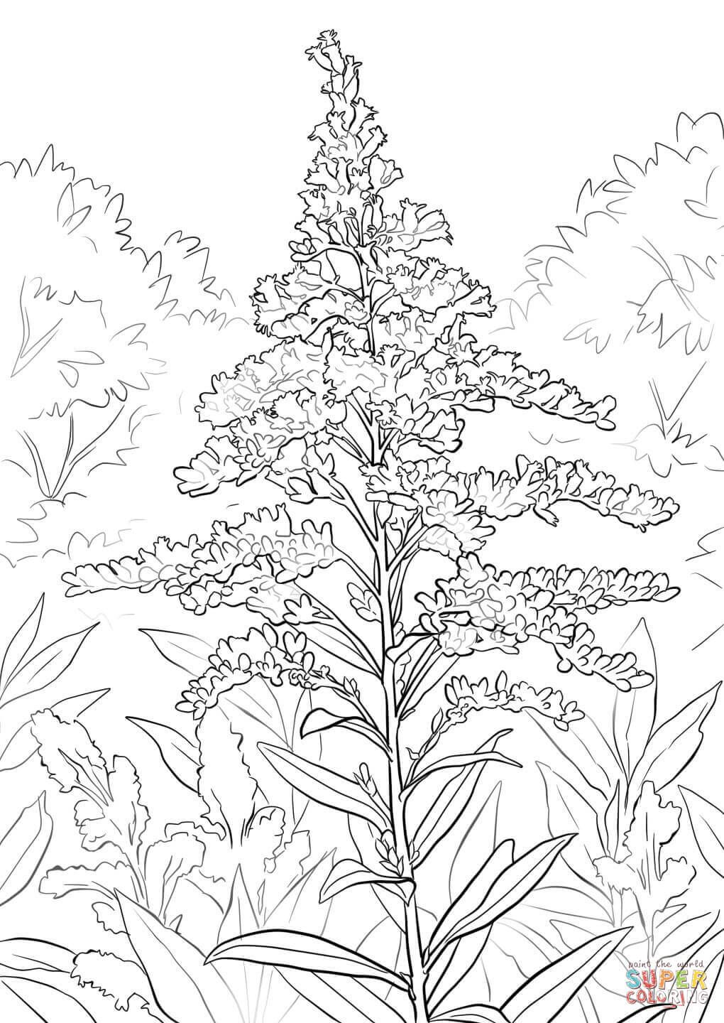 Goldenrod Coloring Pages Flower Coloring Pages Kentucky State