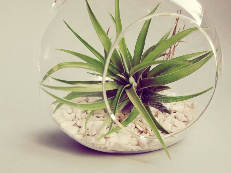 Hanging terrarium air plant easy to take care of so it 39 s for Easy plants to take care of