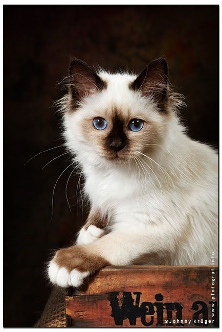 checker.. by Johnny Krüger on 500px, a young sacred birman cat