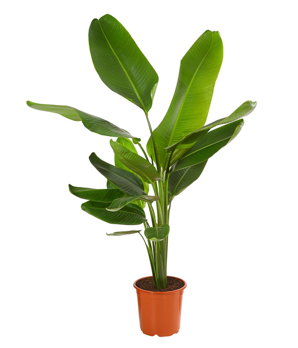Zimmerpalme Travelers Palm Dehner In 2021 Pflanzenblatter Pflanzen Palmen Kaufen
