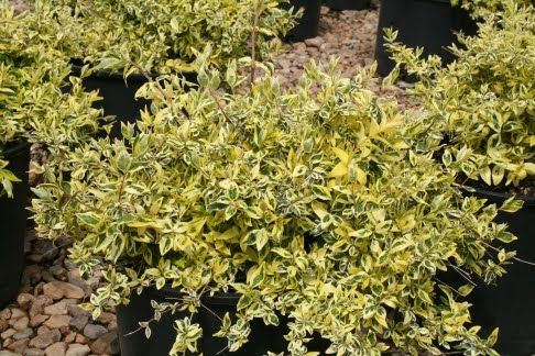 Twist Of Lime Abelia So Pretty 3 3 Ft Tall And Wide Gardening