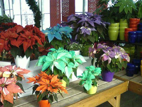 Poinsettia Colors Paisley Curtain