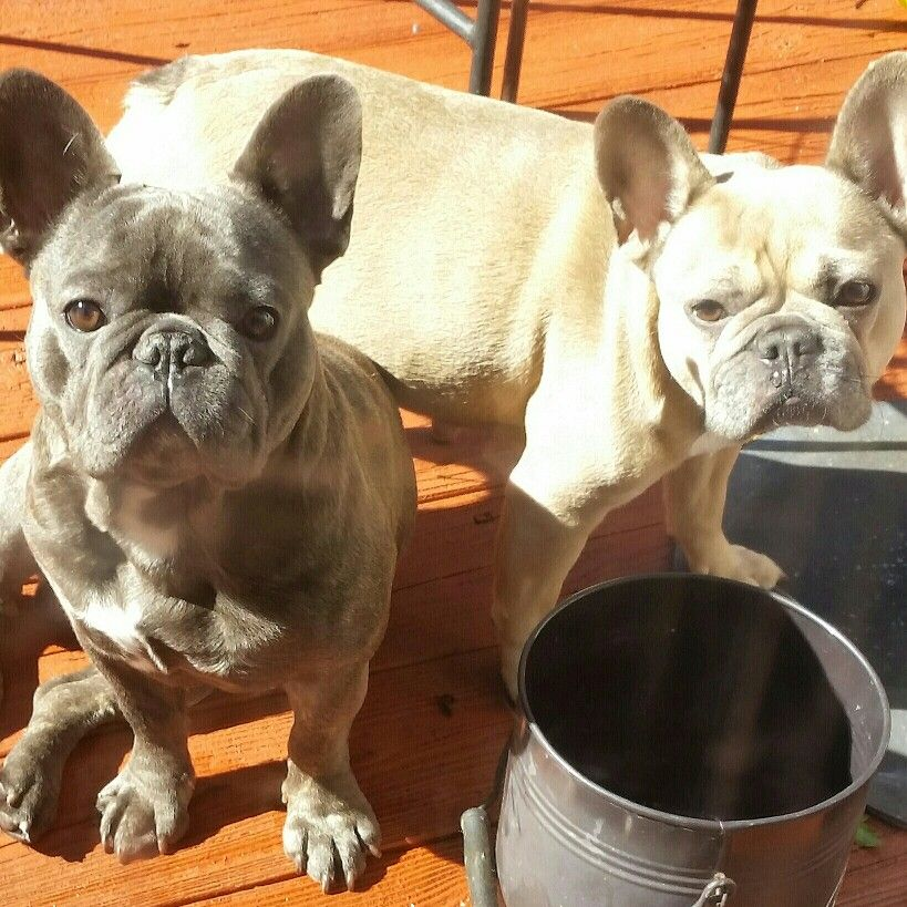 Mom and Dad Bulldog puppies, Puppies, French bulldog