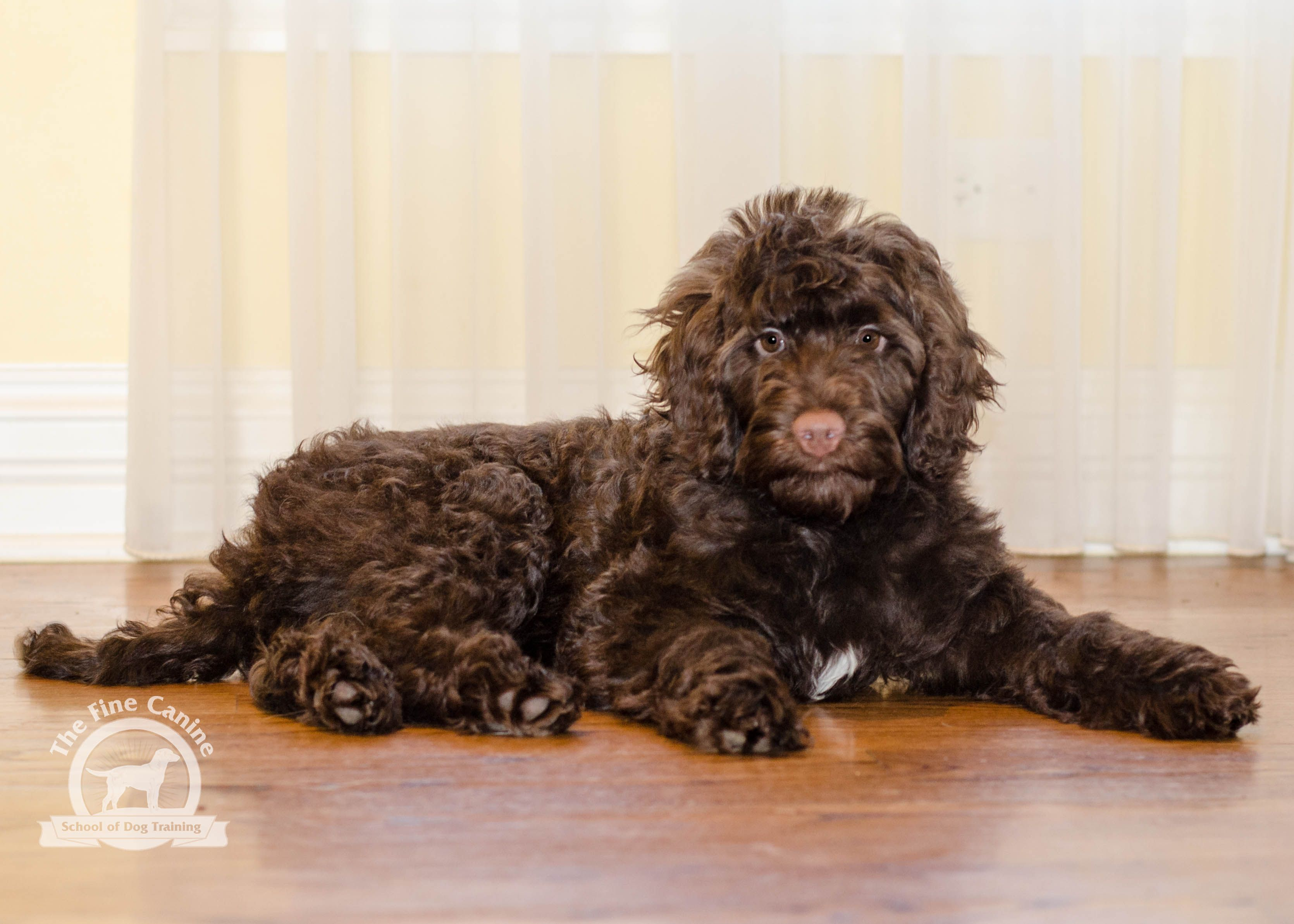 Rossy The 12 Week Old Labradoodle Puppy Labradoodle Puppy Puppies Labradoodle