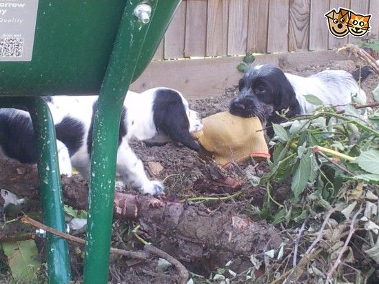 Kc Registered Blue Roan Puppies For Sale Blue Roan Puppies For