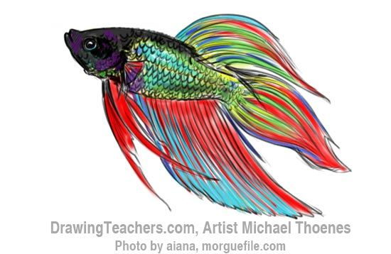 How To Draw A Siamese Fighting Fish Step By Step A Siamese Fighting Fish Is An Awesome Fish To Draw This Art Lesson Fish Drawings Watercolor Fish Drawn Fish