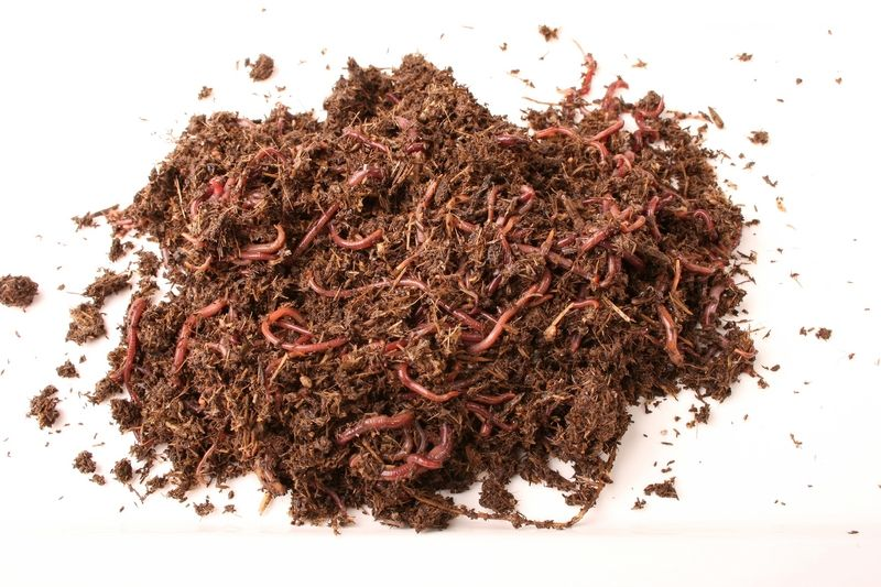 Kompostwürmer kompostwürmer eisenia fetida eisenia fetida wiggler
