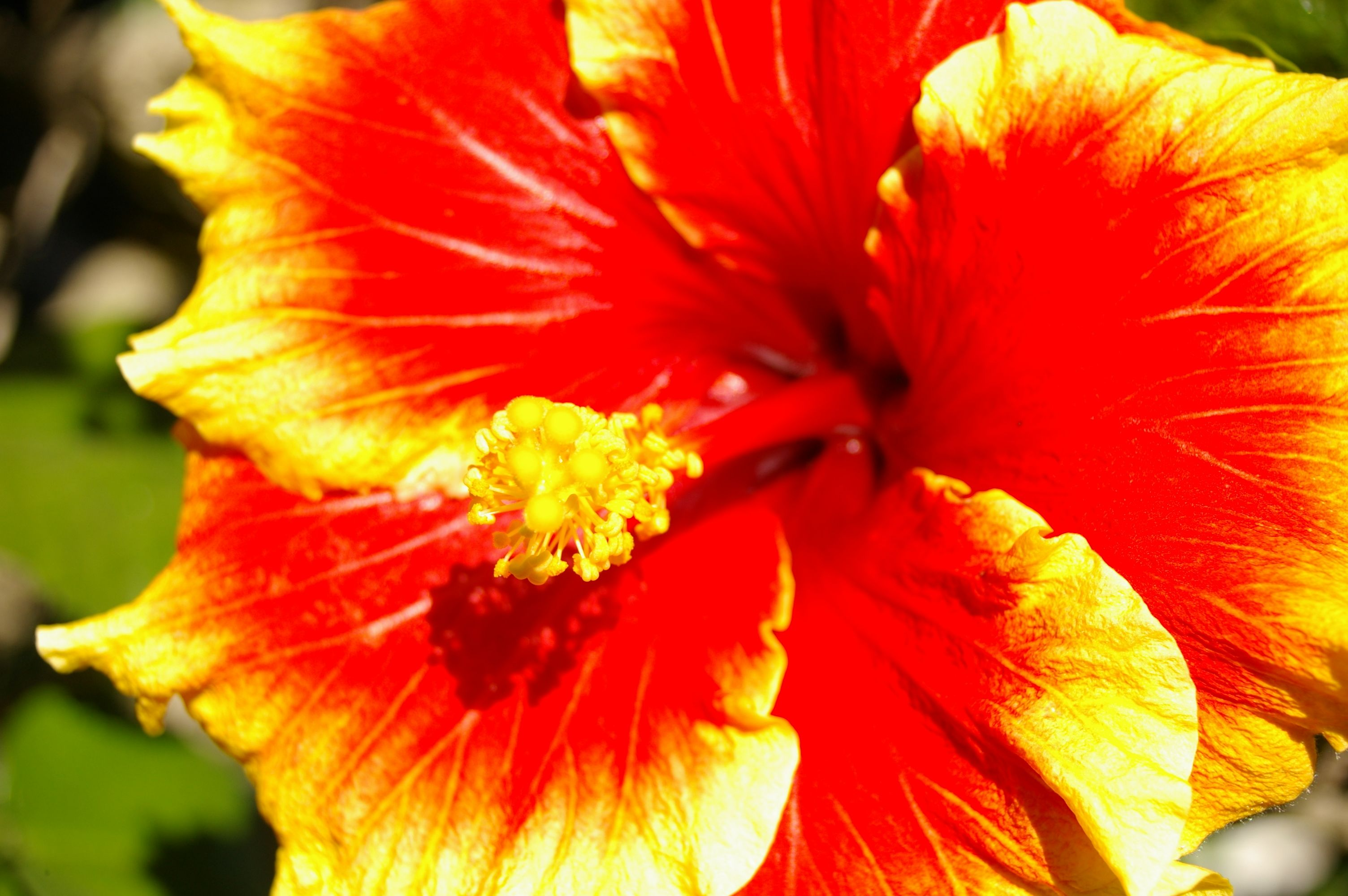 Fire Hibiscus Are True Floridian Flowers And Are Found Around The State This One Was Photographed In My Front Y Hibiscus Flowers Hibiscus Plant Hibiscus Tree