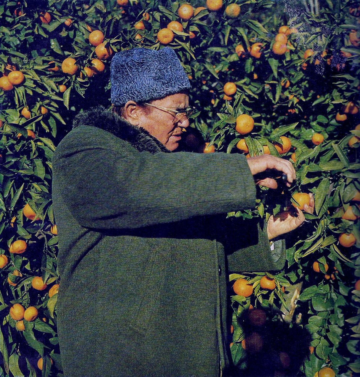 Josip Broz Tito picking up mandarines on the island of Brijuni, Croatia  Josip Broz Tito bere mandarine na ostrvu Brijuni, Hrvatska  [1960s]