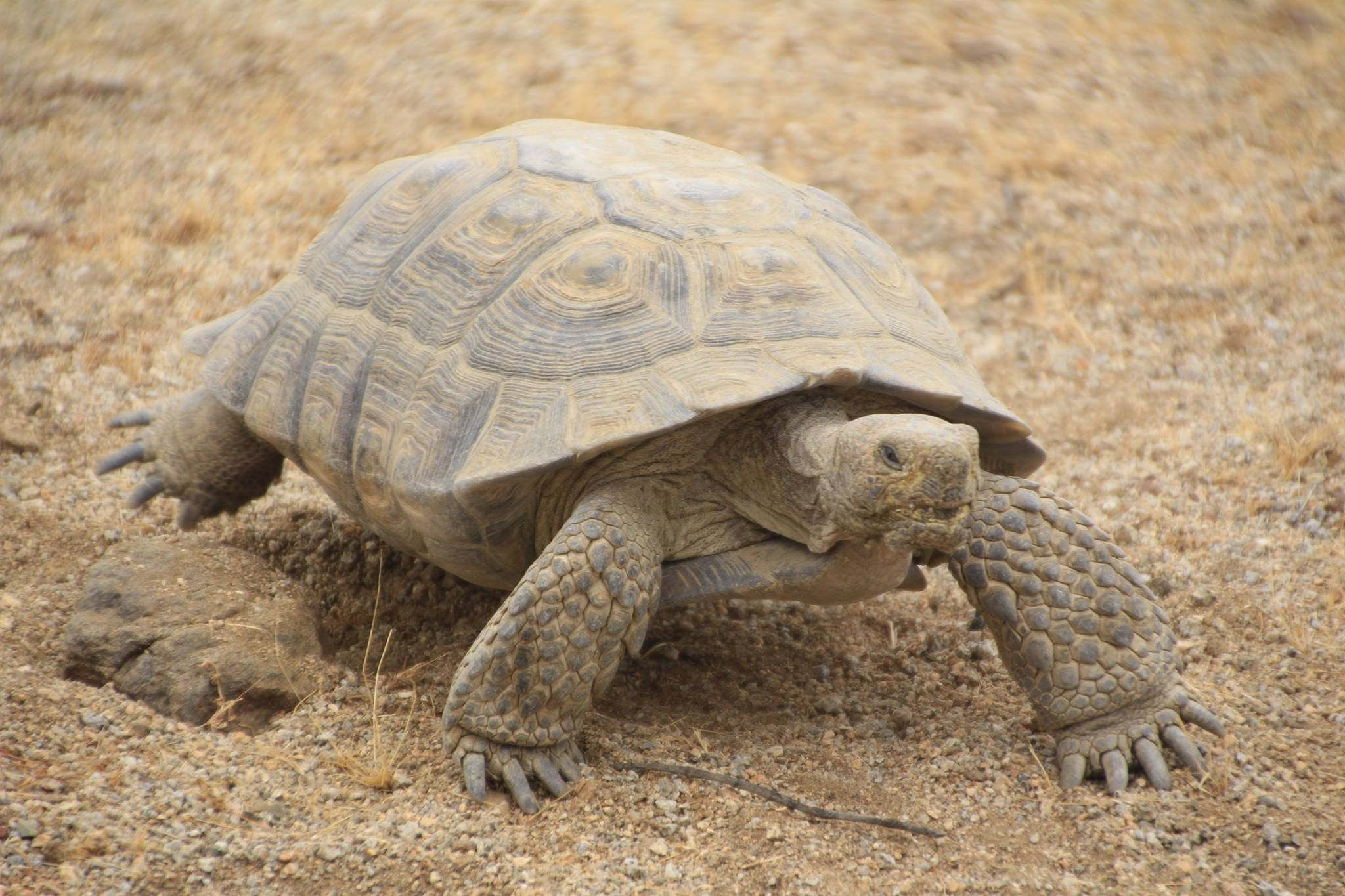 Desert Tortoise in the Mojave Desert (With images