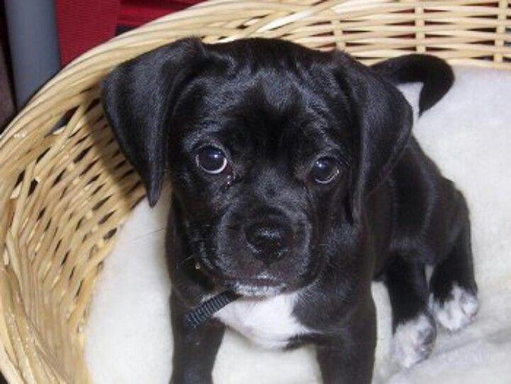 Aww little black puggle | Puggles, love them. | Pinterest ...  White